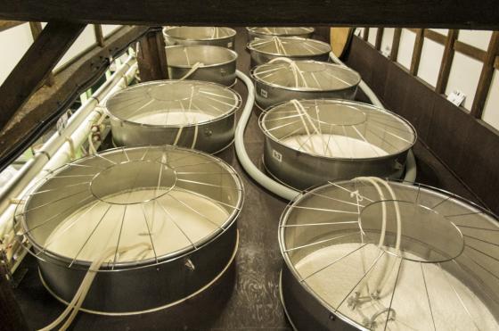 Sake fermenting