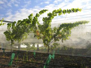 netted vines in Marlborough